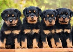 Rotweiler Puppies for sale