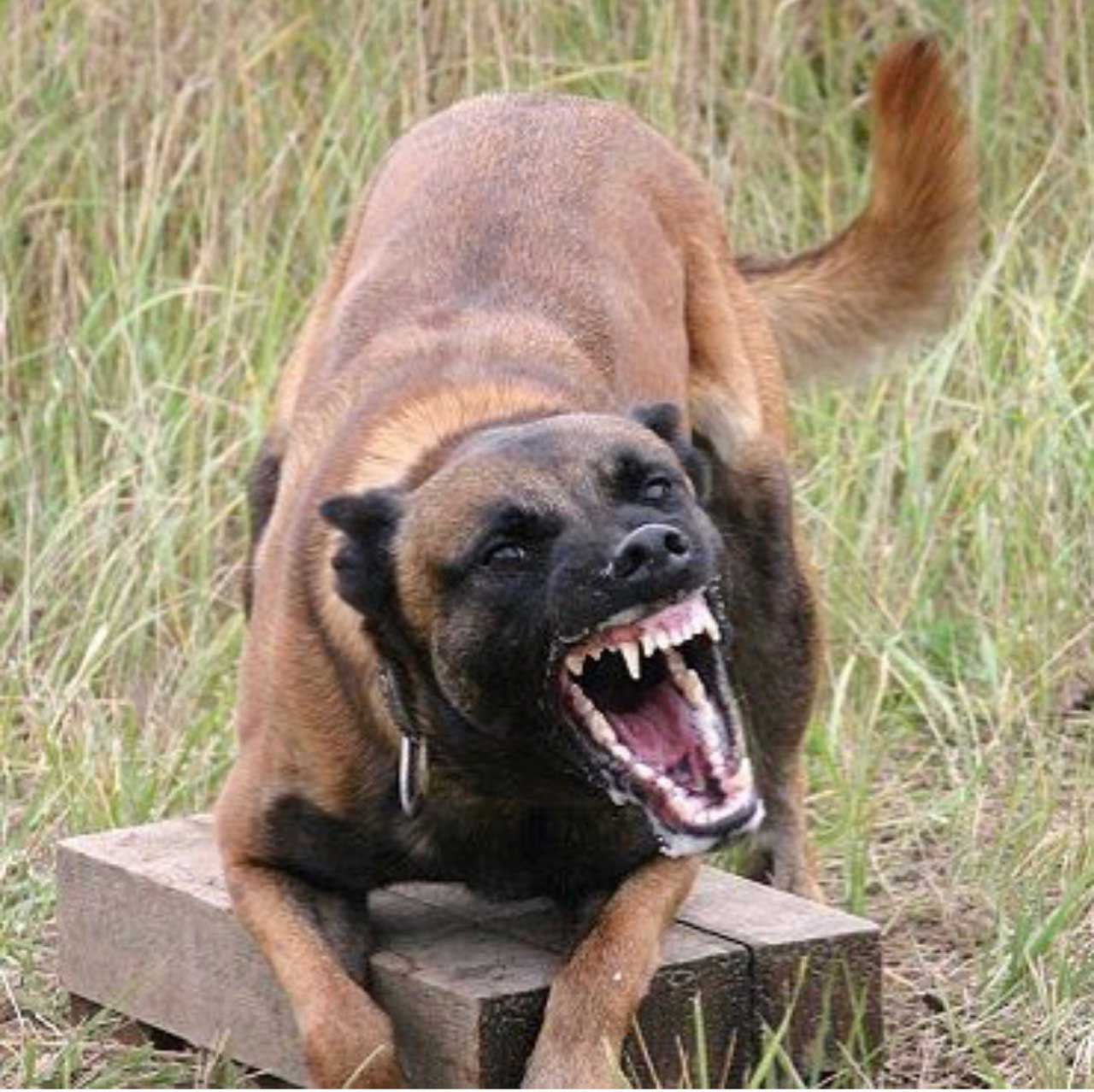 Tasha Belgian Malinois Featured Protection Dog