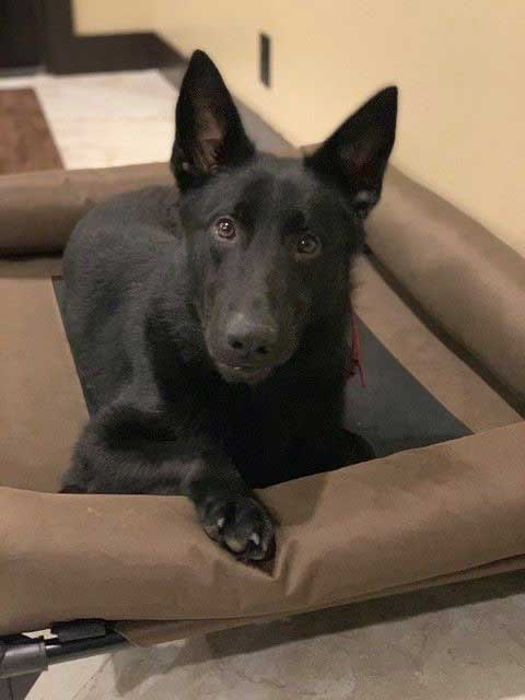 Kodo German Shepherd Family Protection Dog