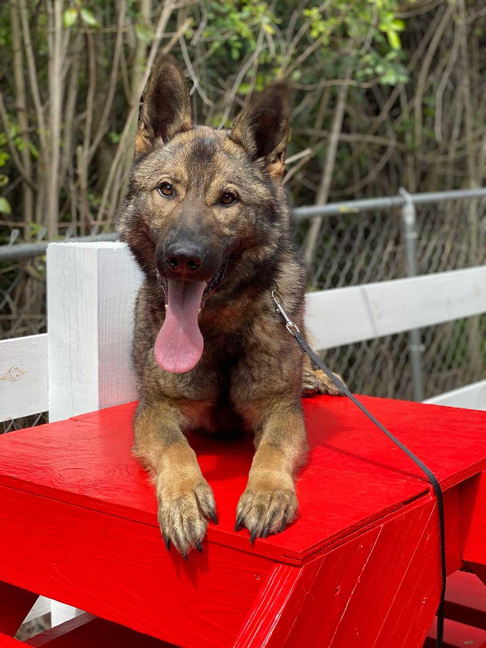 Roman - German Shepherd Family Protection Dog