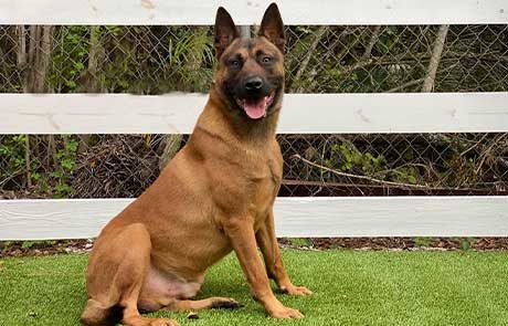 Tommy Belgian Malinois Protection Dog