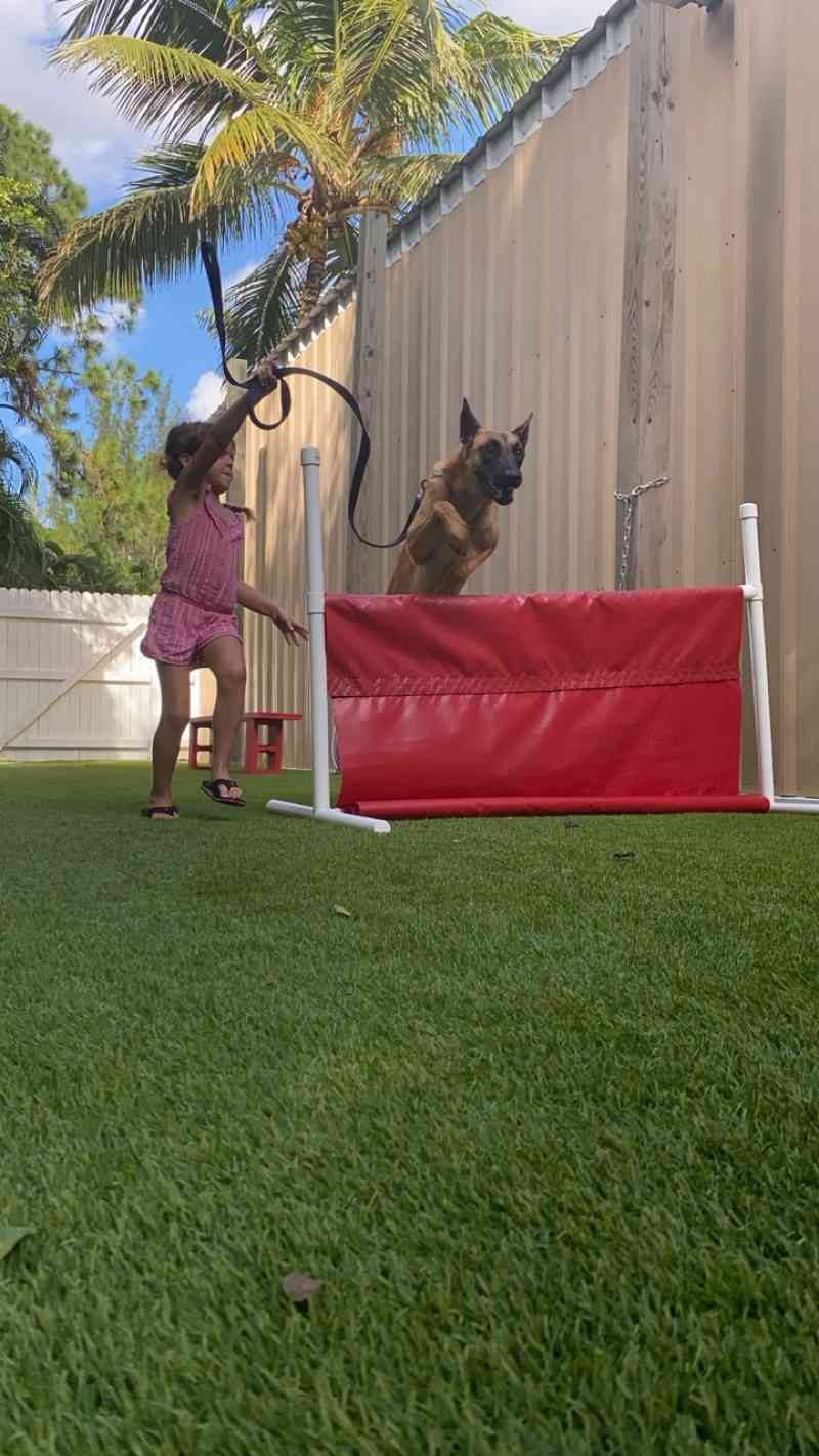 Kimber - Family Protection Belgian Malinois