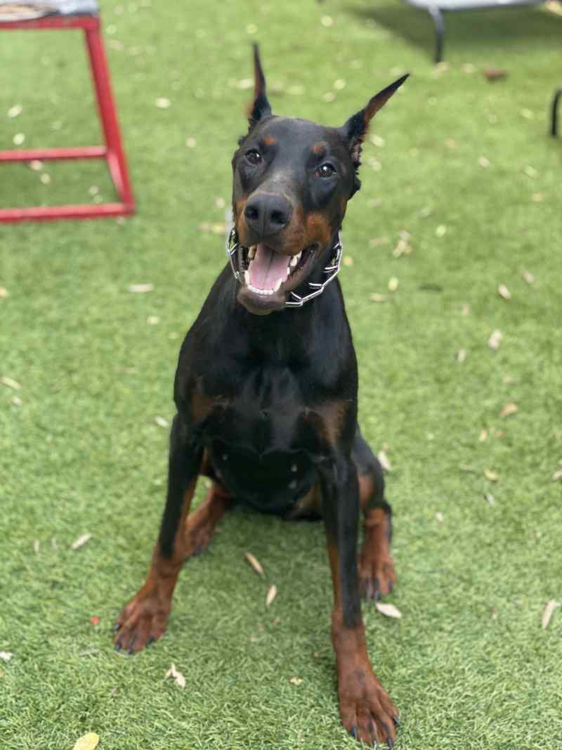 Cleo - doberman pinscher - family companion