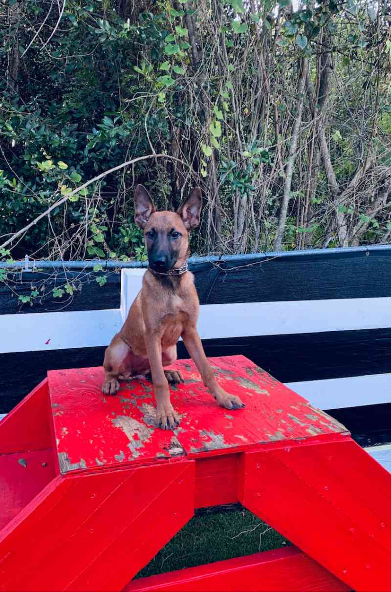 Beretta - Family Protection Belgian Malinois