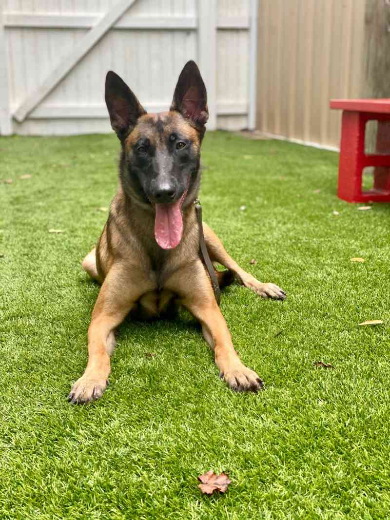 Diamond - Family Protection Belgian Malinois