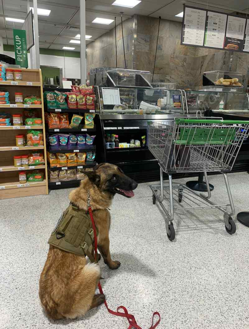 Duran - belgian malinois - family protection dog - guard dog