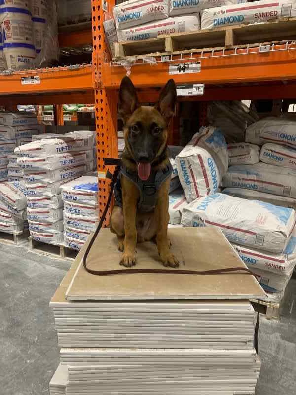 Snyper - Dutch Malinois - Family Protection Dog