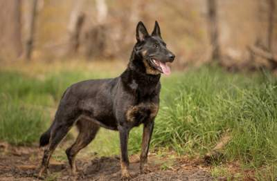 Meeka - Family Protection Dutch Shepherd