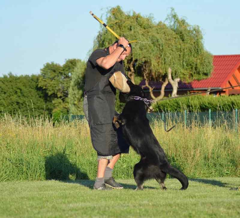 Creed - German Shepherd Family Protection Dog